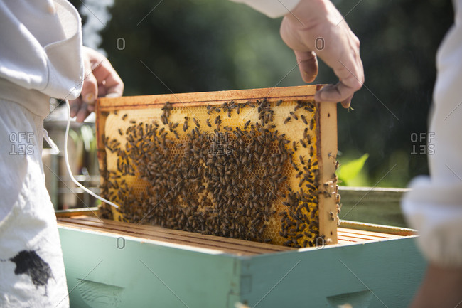Man's hands pulling out a beeswax honeycomb frame crawling with honeybees from a beehive