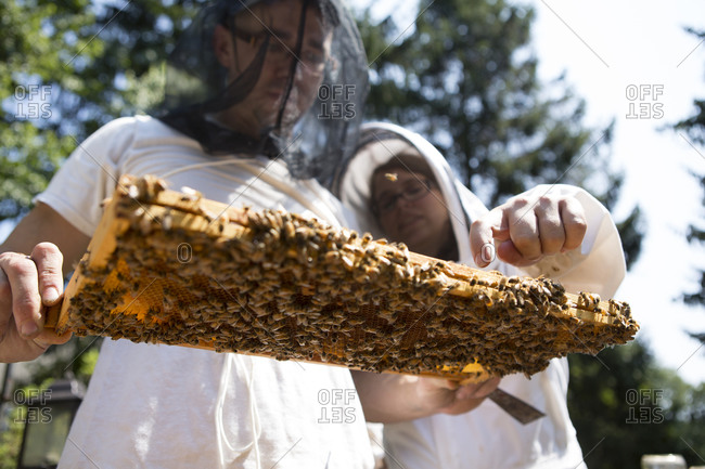 Young couple holding and inspecting a beeswax honeycomb frame crawling with honeybees from a beehive