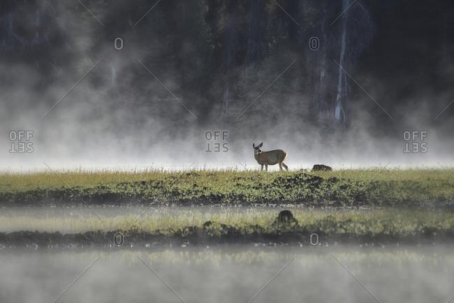 Mule Deer in morning mist, Sparks Lake at sunrise near city of Bend, Central Oregon