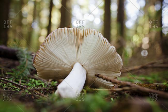 Gill Mushroom in forest.