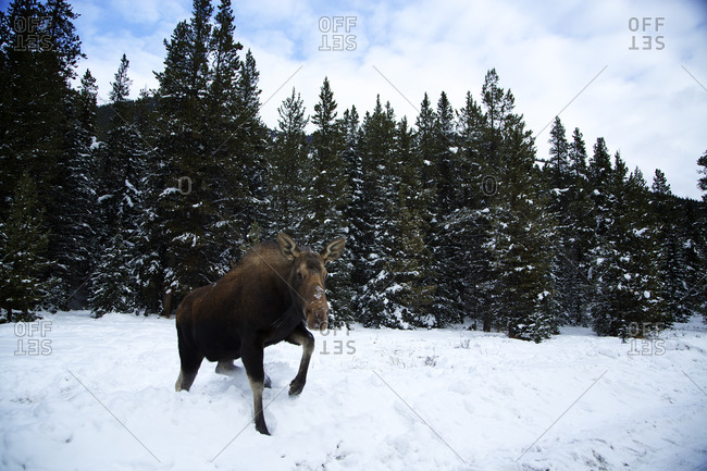 A moose (Alces alces) walks through the thick snow near Canmore, Alberta.