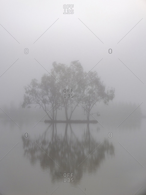 Eucalyptus trees in the fog reflected in flooded rice field pond, Sacramento Valley, California