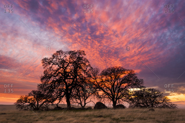 Valley Oak and colorful sunset, Spenceville Wildlife Area, Nevada County