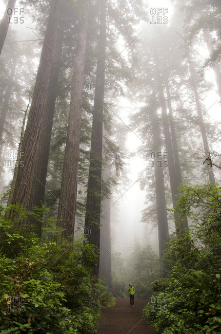 Dwarfed by Redwood trees, a young man stands in awe in Redwoods National Park, California.