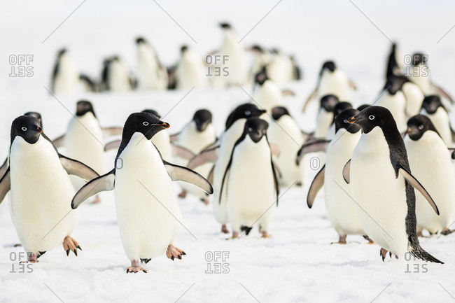 Adelie Penguins are marching across the ice.