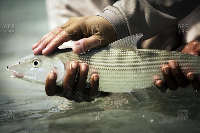 Fisherman hands holding bonefish above water