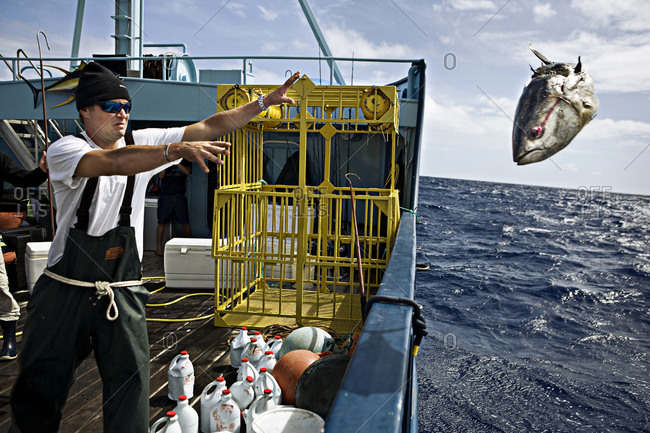 White shark expedition crew member throws out rotten bait