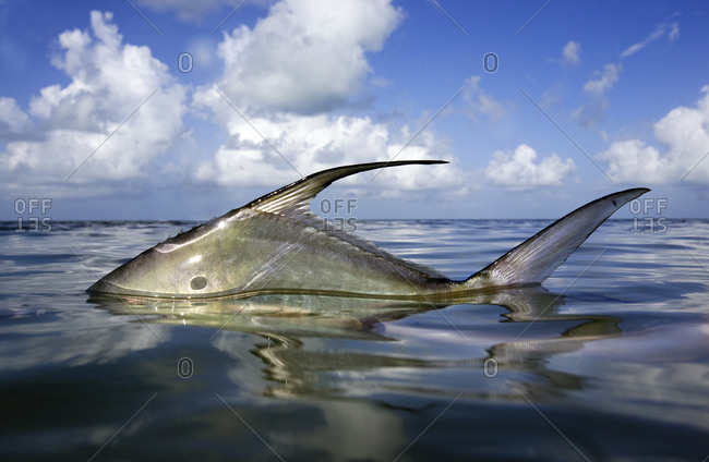 Side view of permit fish just above water with blue skies and white clouds behind