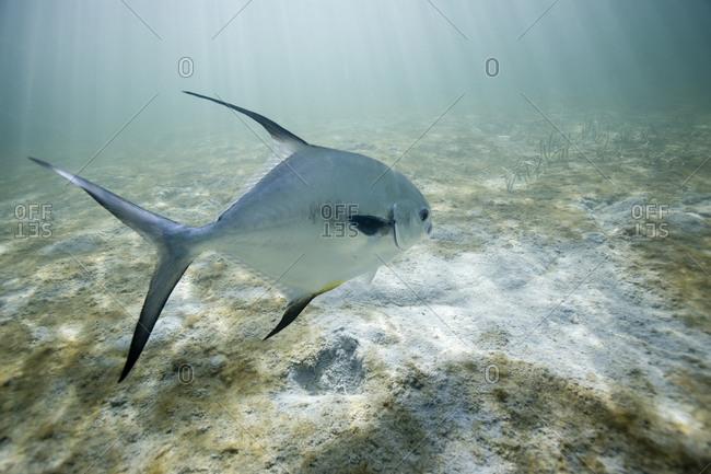 Perfit fish swims above sand underwater