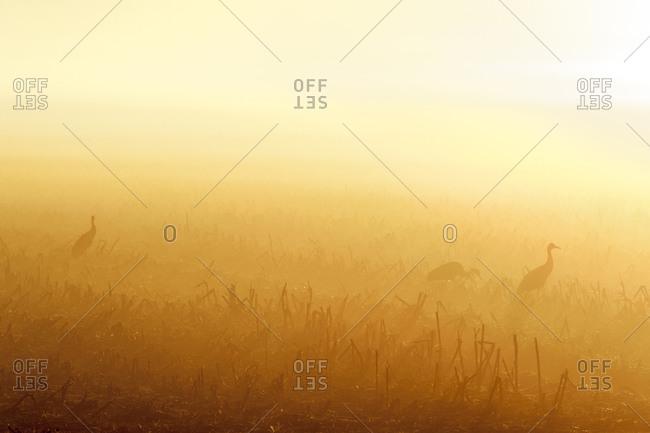 Sandhill Cranes sunrise silhouette