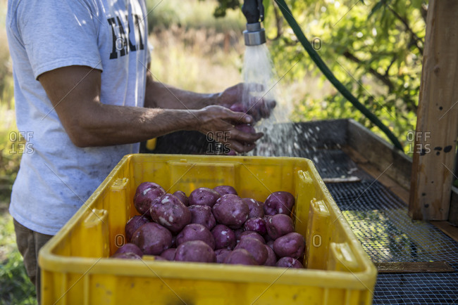 Washing freshly harvested organic potatoes from an organic urban farm.