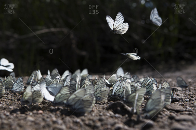 A group of butterflies congregate on the shore of the Onon river in northern Mongolia.