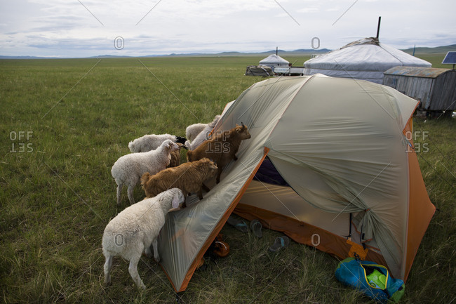 Small herd of young goats and sheep inspect a tent on The Steppe in northern Mongolia.
