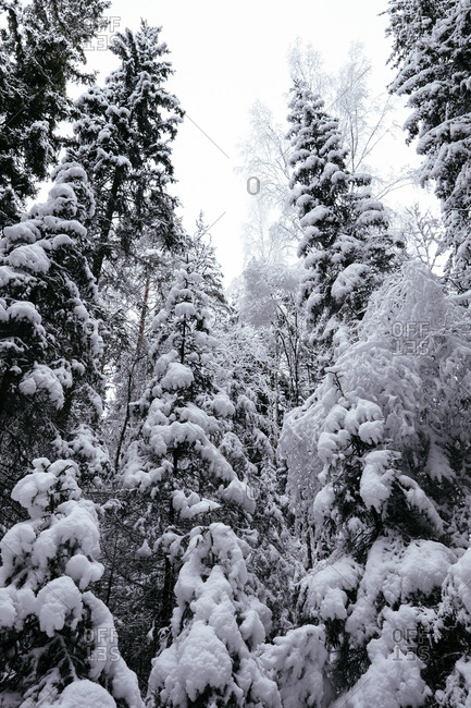 Winter forest in Swedish nature reserve