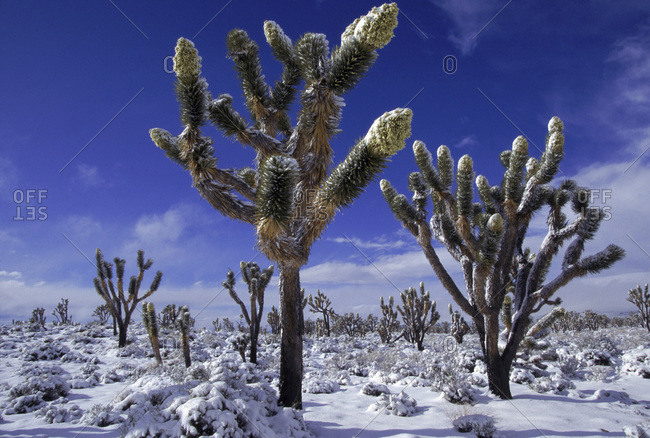 Snow-covered Joshua trees in Cima Dome, Mojave National Preserve