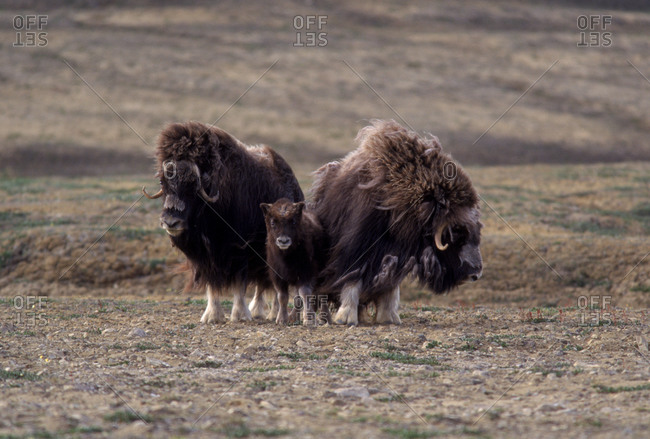 Three musk oxen standing in a field