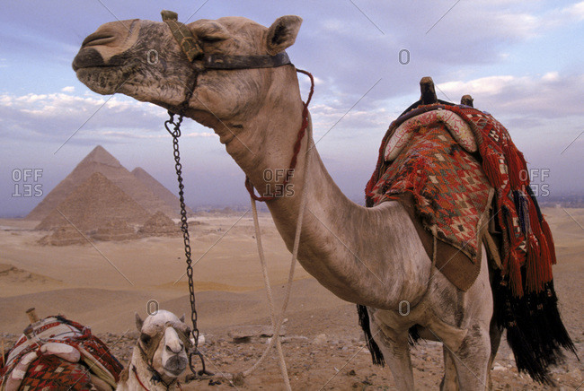Camels stand in the desert near the Great Pyramids in Giza, Egypt