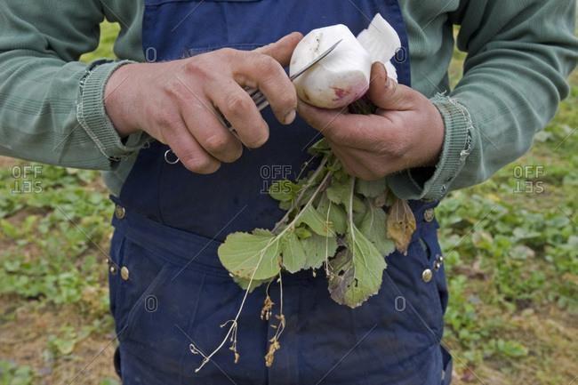 Farmer peeling a turnip