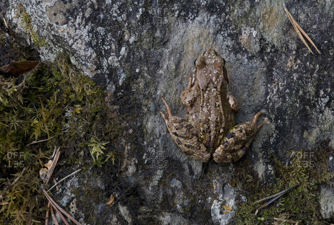 A common frog in the Ristikallio area of Oulanka National Park, Finland