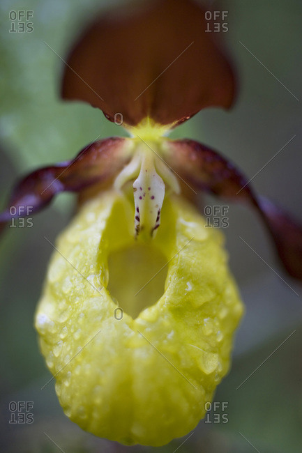Close up of a Lady Slipper orchid
