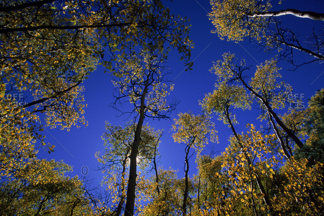 Looking up at trees in the Rio Grande National Forest