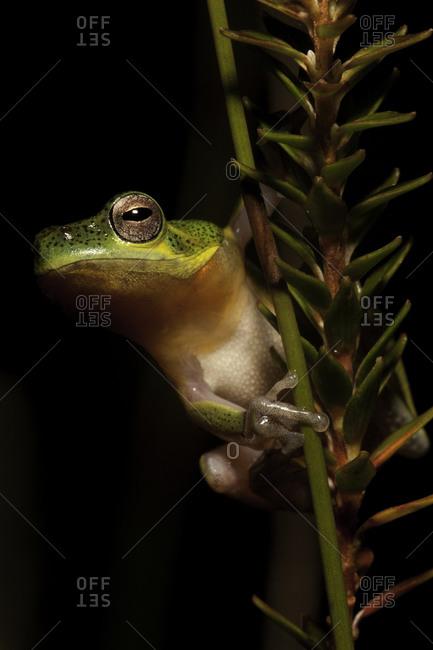Close up of an acid frog, Basin Lake, Australia