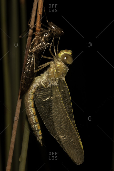 Close up of a Dragonfly, Basin Lake, Australia