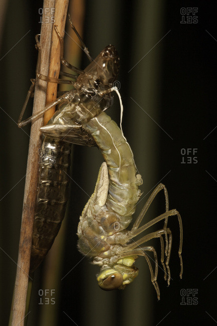 Dragonfly emerging from cocoon, Basin Lake, Fraser Island, Australia
