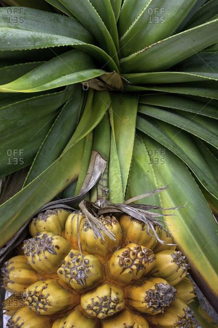Pandanus tree fruit on Fraser Island, Australia