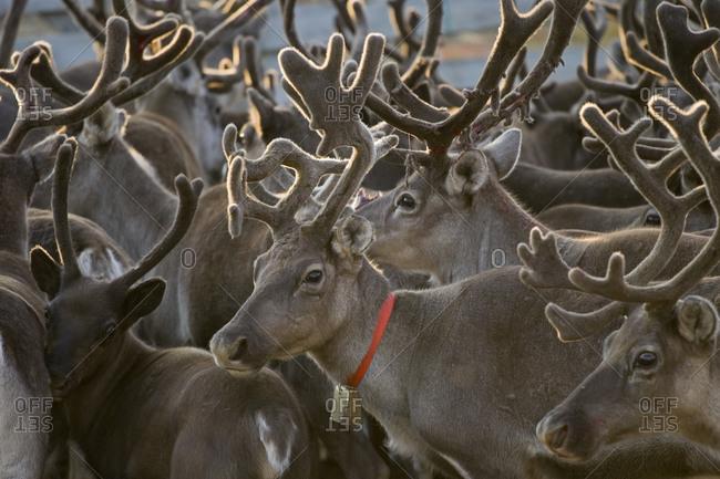 Reindeers in a farm in Isortoq, Greenland