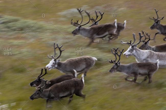 Reindeer herd running in a field in Isortoq, Greenland