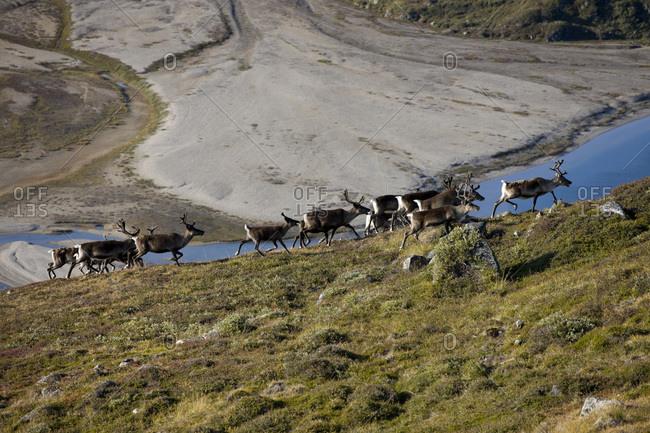 Caribou herd on an unpopulated island near Isortoq, Greenland