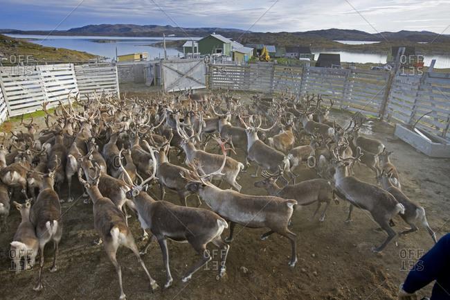 Reindeer roundup in Isortoq, Greenland