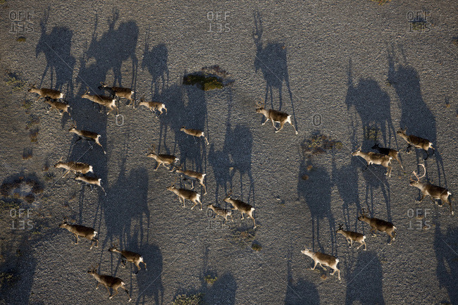 High angle view of a migrating caribou herd