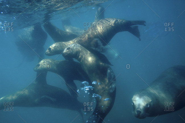Sea lions swimming in water at Puenta Tomo, Puerto Madryn, Argentina