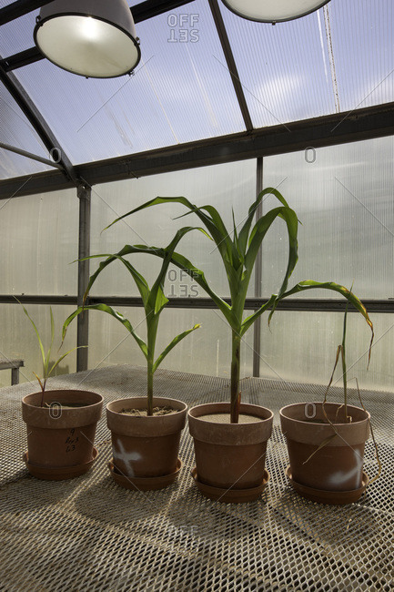 Corn plants at Agricultural Research Station greenhouse in Fayetteville, Arkansas