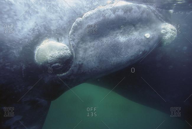 Whales in Golfo Nuevo near Puerto Madryn, Argentina
