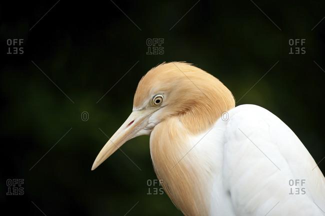 Cattle Egret in Kuala Lumpur, Malaysia