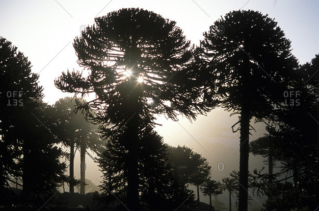Araucaria trees near Caviahue, Argentina