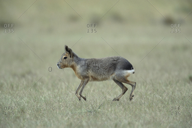 Patagonian Hare near Punta Delgado, Peninsula Valdes, Argentina