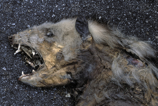 Dead cat after getting hit by a vehicle in the road near Stone Mountain, GA, USA