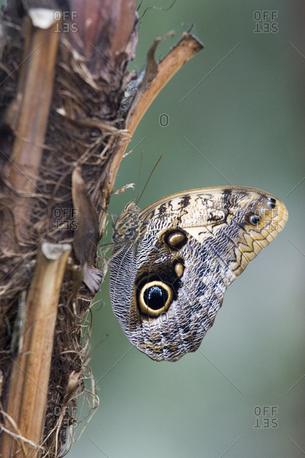 Owl butterfly resting on a palm trunk, Niagara Butterfly Conservatory, Ontario, Canada