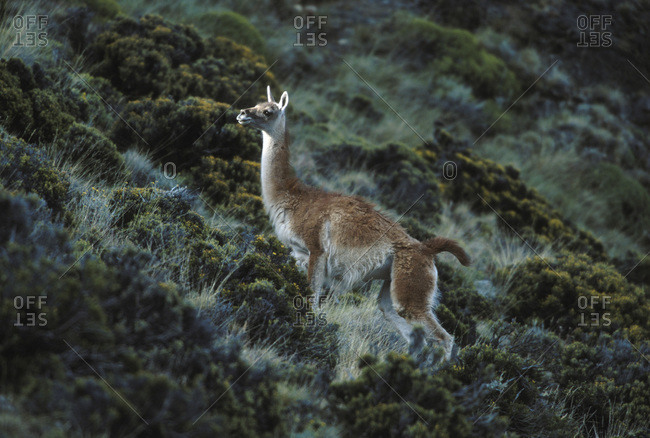 Guanaco on a hill in Perito Moreno National Park, Argentina