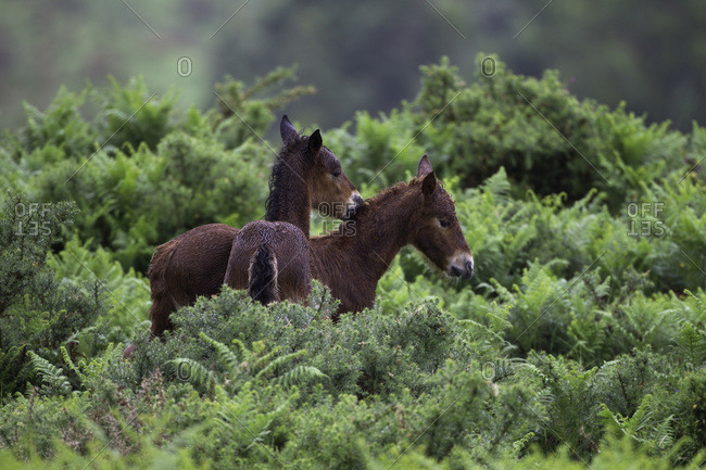 Wild Gararrano Horses in  Ramiscal Valley, Portugal