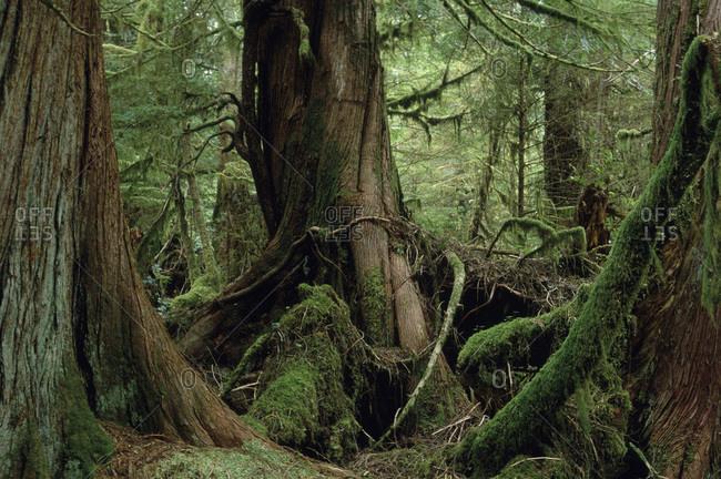Cedar forest in The Queen Charlotte Islands, British Columbia, Canada