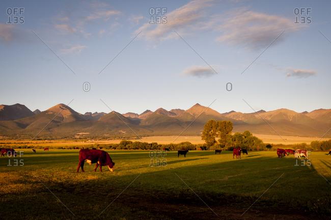 Cows grazing in a field in Westcliffe, Colorado, USA