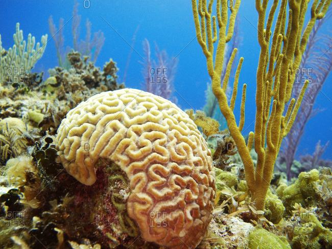 Underwater view of brain coral