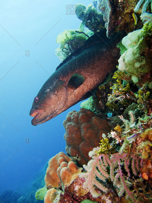 Yellowmouth grouper swimming through coral