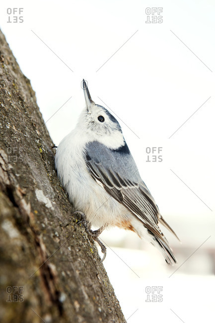 White breasted nuthatch perched on tree