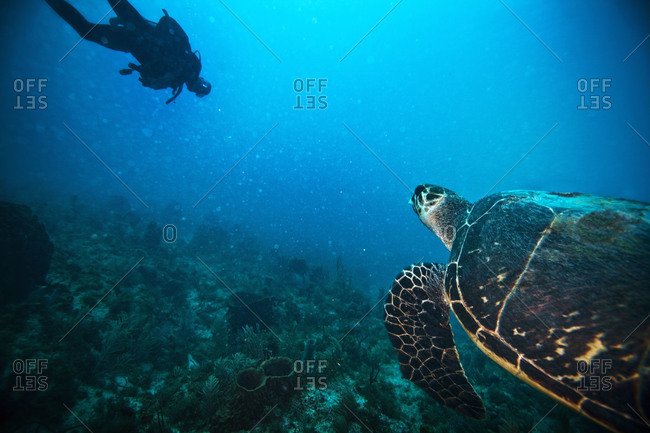 Scuba diver and turtle - Offset